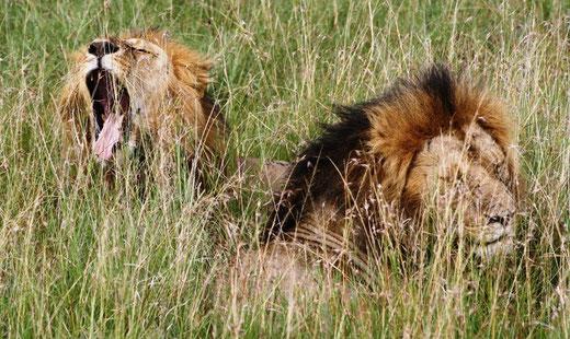 Löwen in der Massai Mara