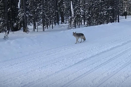 Coyote Yellowstone snowmobile tour