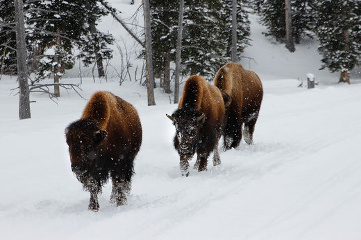 Bisons im Schnee, Schneemobil in Yellowstone