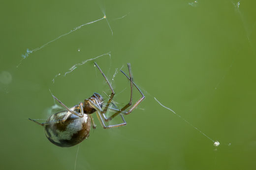 """Spide in net (focu bracketing out of 63 shots, Z6 + Sigma 105/2.8, f5.6, 1/125s, ISO800): Example for several weird mistakes. """"Transparent"""" legs can be seen as well as movements."""