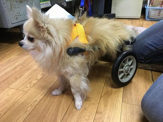犬用車椅子、初めての経験