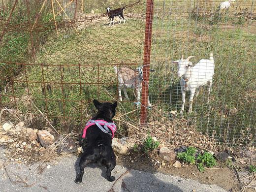 山羊さんを威嚇するフレンチブルドッグ