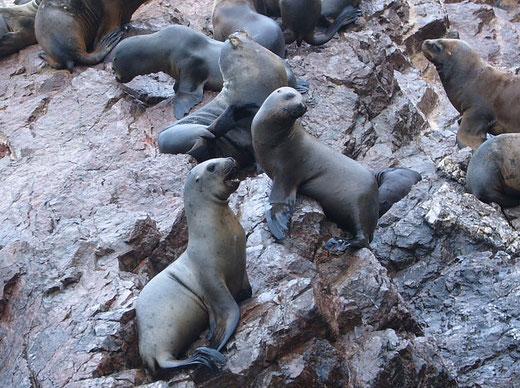 Bootstour zu den Ballestas Inseln von Paracas aus, Peru