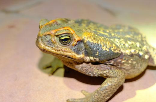 Kröten Fauna Paraguay