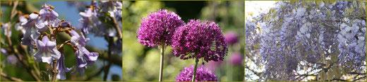 Blauglockenbaum, Kugellauch 'Purple Sensation, Blauregen