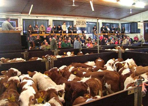 Wöchentlich auf den Märkten in Ansbach, Miesbach und Traunstein. Lieferung von jungen, frohwüchigen Fleckviehkälbern.