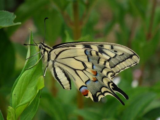 machaon ou grand porte-queue, le plus grand papillon d'Europe