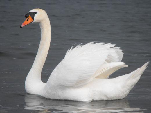 悠々と湖の浮かぶスワン