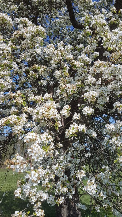 Blühende Obstbäume in den Rheinwiesen bei Leverkusen