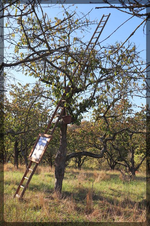 Kirschbaum mit Ernteleiter auf dem Kindervatter-Hof