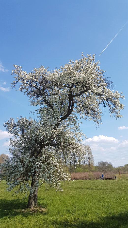 Blühende Obstbäume in der Nähe der Wuppermündung in den Rhein