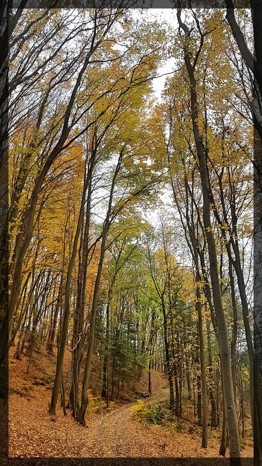 Majestätische Buchen formen einen Kathedralenwald - einfach schön!