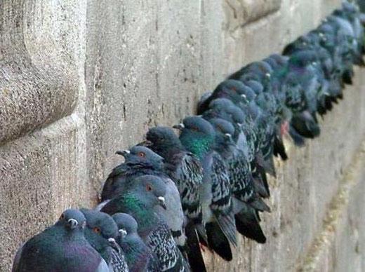 Colonia di piccioni sul muro di un edificio storico