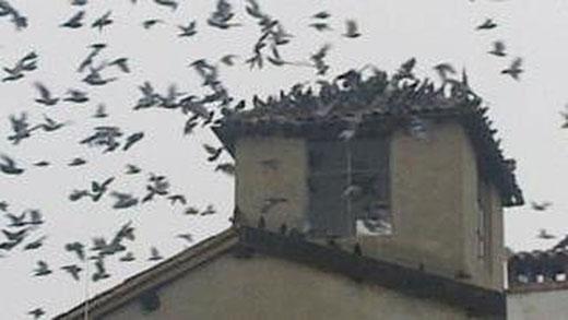 Scacciare i piccioni da un tetto: come fare?