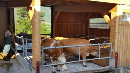 Die Tiere von Fam. Truskaller vulgo Kronegg werden in zeitgemäßen Stallungen gehalten