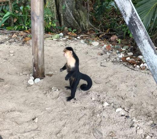 Kleiner Affe im Cahuiter Park