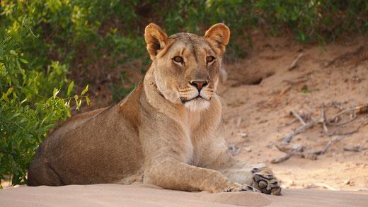 Lionne du désert ; Hoanib ; Namibie. Nature Maxime Lelièvre