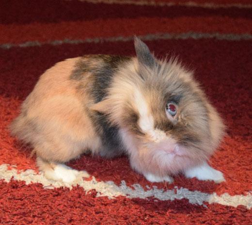 torcicollo coniglio nano