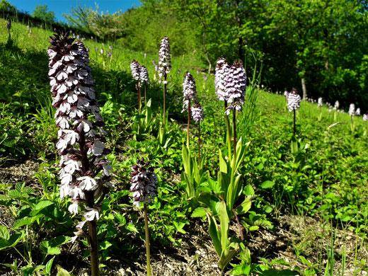 Rehborn am Glan - Orchideenwiese - Knabenkraut