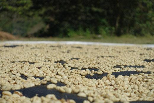 Sechage graines de café