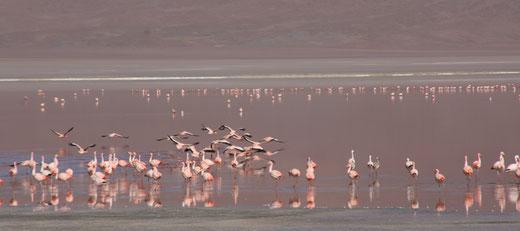 unzählige Andenflamingos an der Laguna Colorada