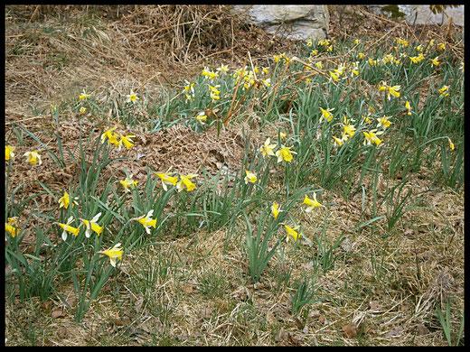 Gelbe Blütenköpfe der wilden Narzissen im Hohen Venn bei Fringshaus