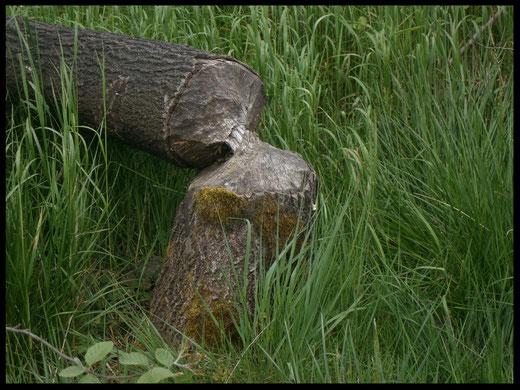 Deutliche Fraßspuren an einem von einem Biber gefällten Baum