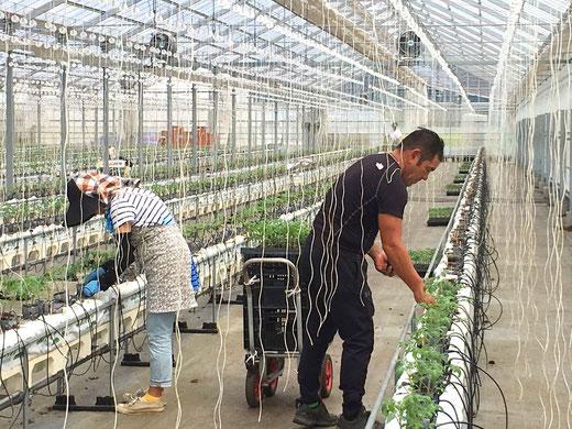 雅トマトの植え付け作業を行いました