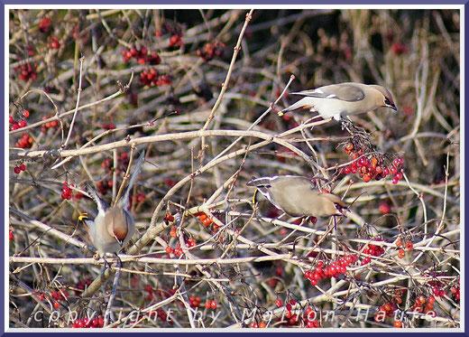 Wintergäste aus dem Norden - Seidenschwänze (Bombycilla garrulus)