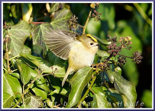 Unser kleinster Singvogel - Wintergoldhähnchen (Regulus regulus)