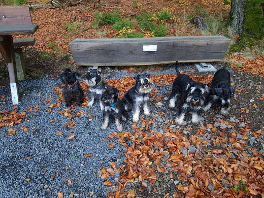 Herbstspaziergang in der Vulkaneifel mit Doro, Tündi, Aloma, Colleen, Gustav und Pia