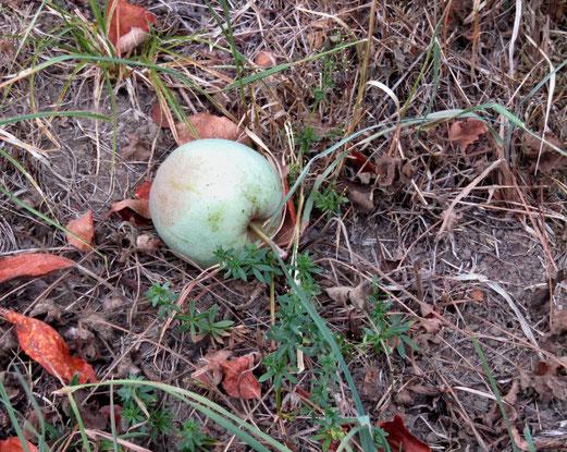 11. August 2018 - Der Apfel fällt unreif vom Stamm