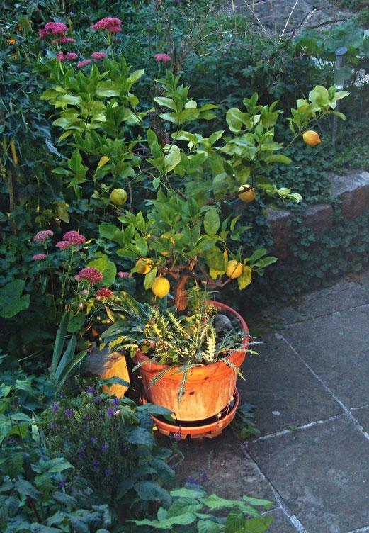 25 September 2018 - Warum auch in die Ferne schweifen? Zitronen in Nachbars-Garten.