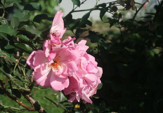 20. September 2017 - Auch eine welke Blume kann attraktiv sein