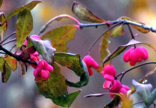 """22. November 2018 - """"Oktober tötet. Oh Blumenblut! Den Waldsaum rötet der Pfaffenhut"""". (Gedichtszeile von Günter Eich, 1948) Bilder hier reinziehen oder per Klick hinzufügen"""