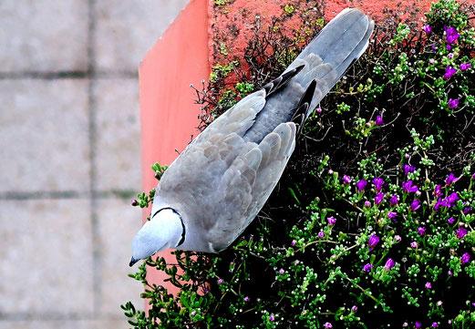 17. April 2018 - Blumen interessieren die Taube nicht