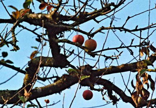 21. November 2018 - Die Widerspenstigen.  Blätter sind gefallen, Früchte leisten Widerstand