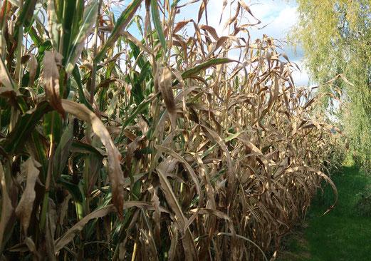 05. Oktober 2017 - Der Mais ist reif
