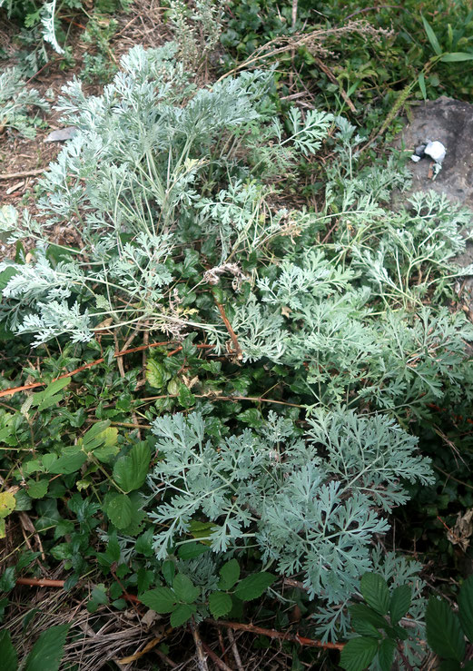 26. September 2018 - Wermut - seit der Antike Heilpflanze, im alten Ägypten Liebeszauber, für Kinder die ihn als Verdaungstee trinken müssen - einfach nur bitter.