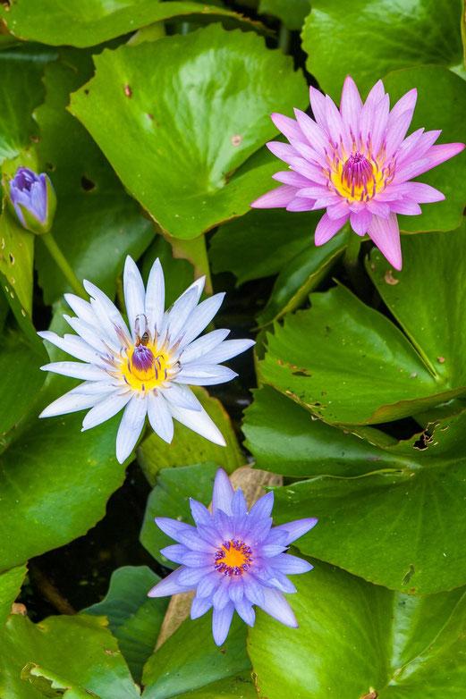Fleur d'eau : 1,2,3... Soleil !