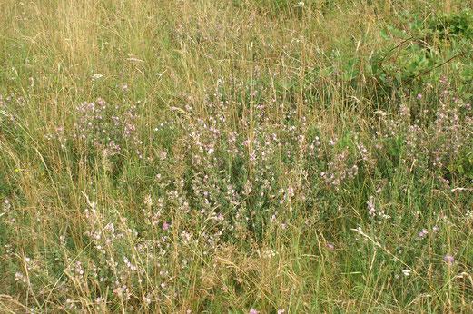 Der dornige Hauhechel widersteht der diesjährigen Dürre; Juli 2018