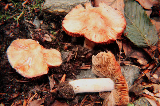 Ziegelroter oder Mairisspilz (Inocybe erubescens),giftig