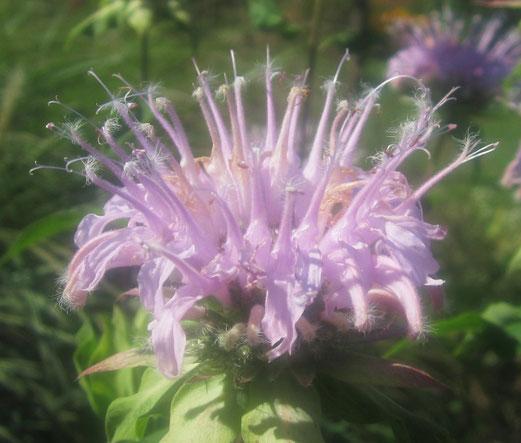 Blütenkrone