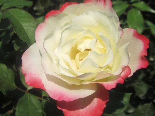 Rose aus dem Rosarium