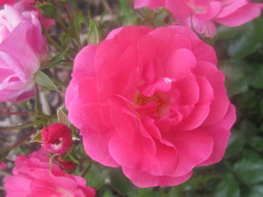 Zauber der Rose
