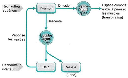 Fig. 6.1 - Régulation de la Voie des Eaux par le Poumon / Souce : G. Maciocia, Les principes fondamentaux de la médecine chinoise, p. 137