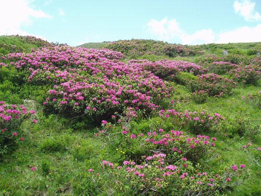 Almrauschblüte am Granitzl