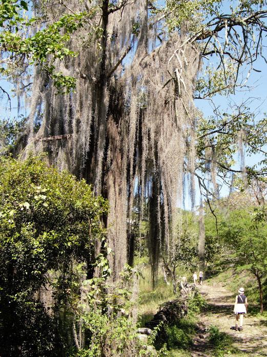Moose bewachsen die hiesigen Bäume und gestalten fabelhafte Szenerien, Barichara, Kolumbien (Foto Jörg Schwarz)