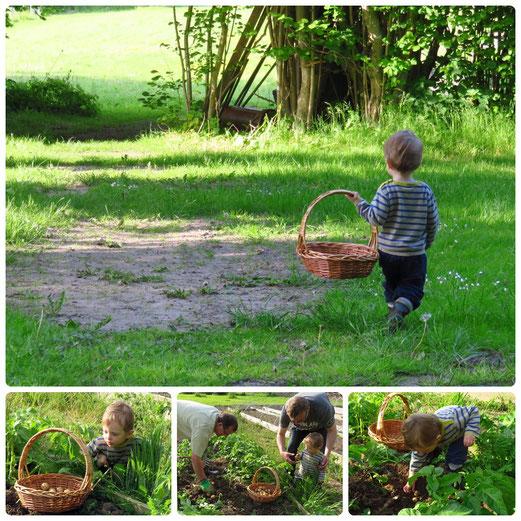 Direction le potager... et les pommes-de-terre nouvelles d´oncle Niels !