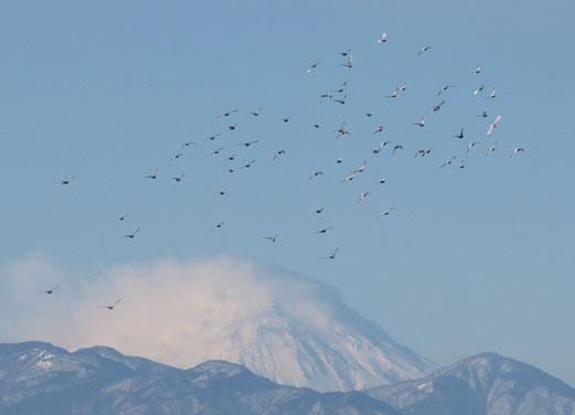 1月20日(2016) 雪の富士に鳥の群れ:国立天文台の近く国分寺崖線の上から